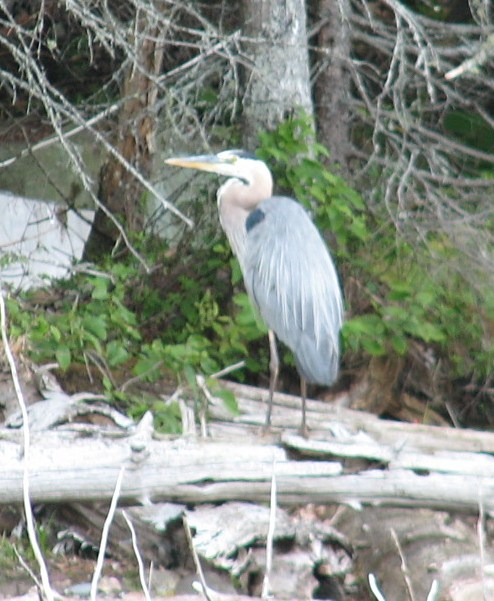 Cabin Great Blue Heron